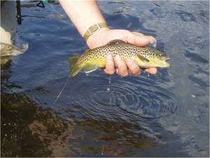 """Brown Trout on Meadow Run"""