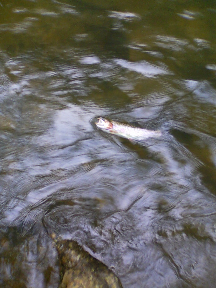 Meadow Run Rainbow Trout